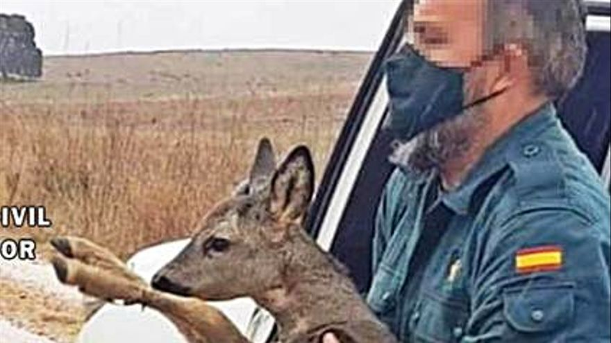 La Guardia Civil recupera y pone en libertad a una cría de corzo en Villanueva