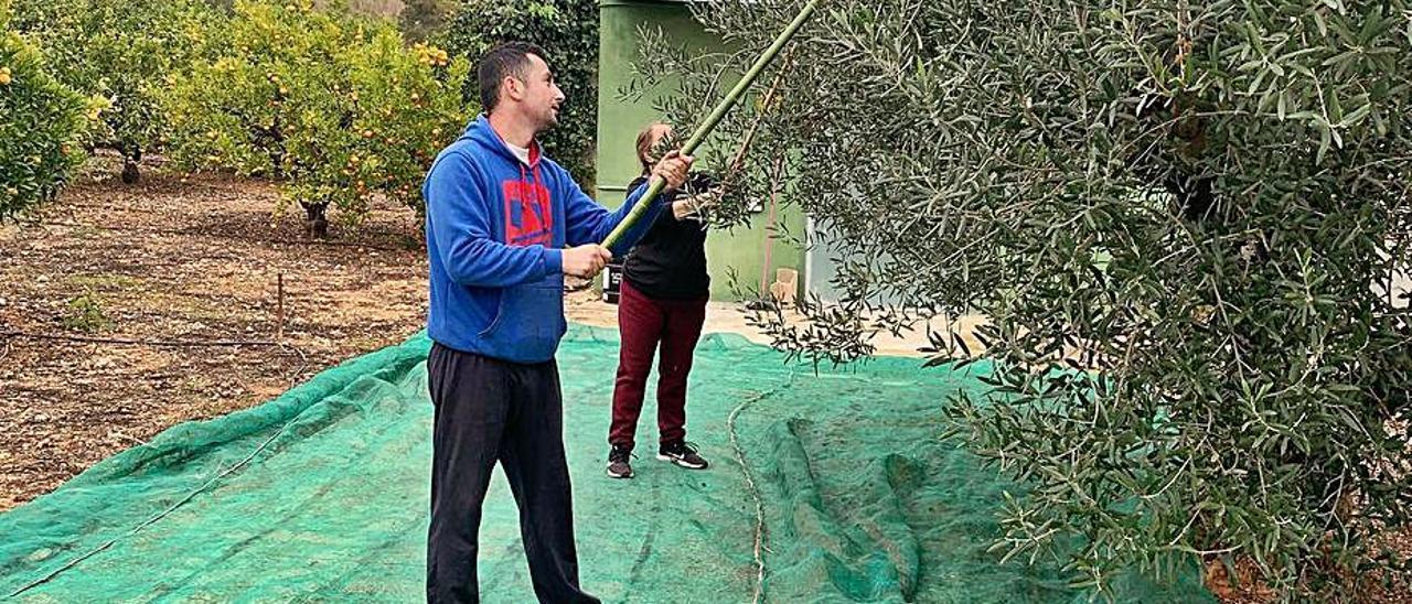 Vareando los olivos en la Pirotecnia Valenciana. | LEVANTE-EMV