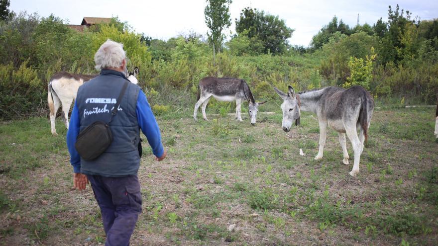 El propietario de los burros ya tiene en su finca del Grau a todos los asnos que sobrevivieron en el Desert de les Palmes