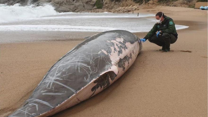 Troben una balena morta a Tossa de Mar