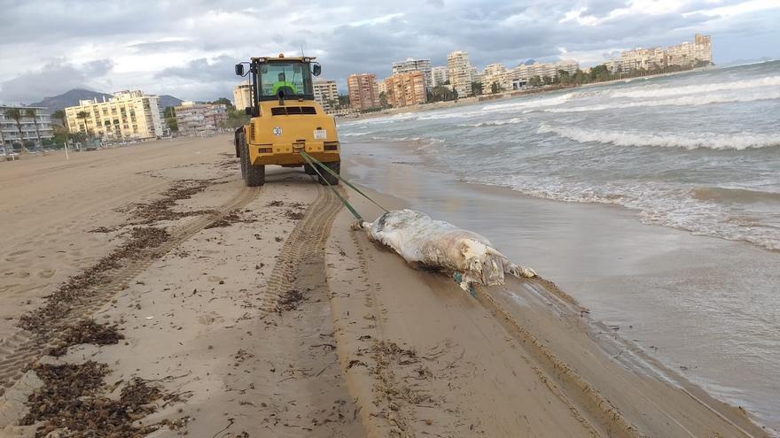 Aparece el cadáver de una vaca de 600 kilos en una playa de Alicante