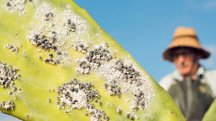 Bicentenario de los primeros ensayos del cultivo de la cochinilla en Santa Cruz de Tenerife