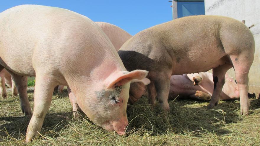 Lonja de Zamora | El porcino agudiza su tendencia bajista