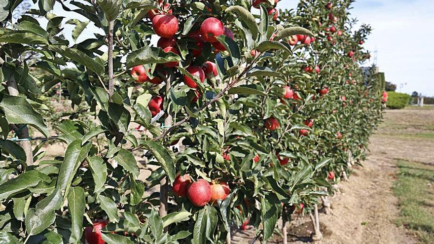 Puja el 16% la previsió de collita de poma i la de pera baixa el 14%
