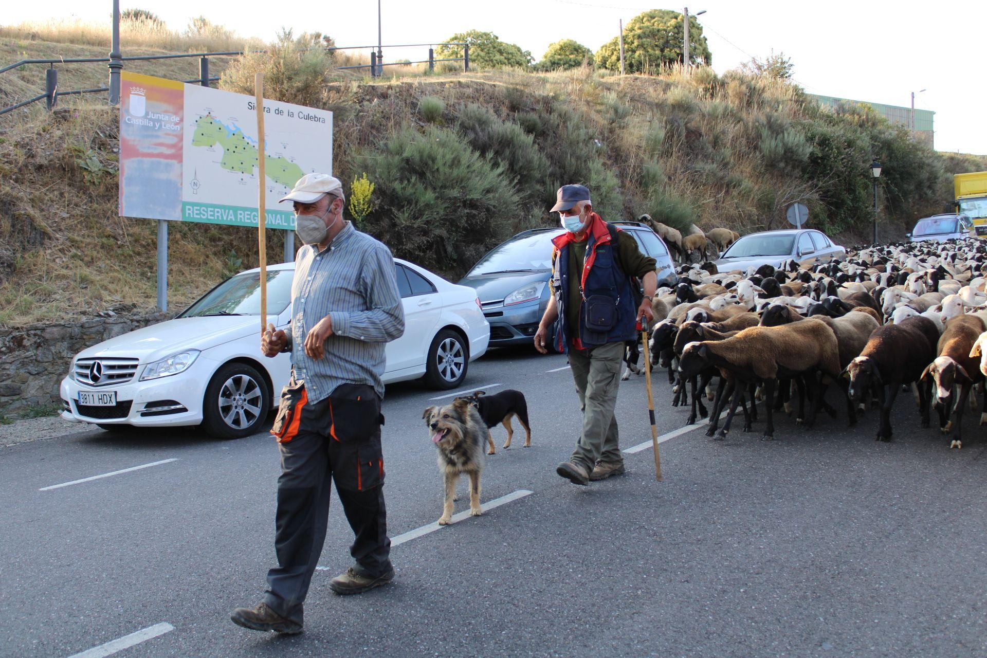 Los pastores y los perros guían a la cabaña a su paso por Puebla de Sanabria.