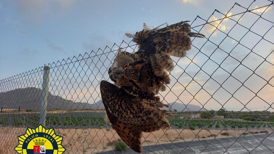 La Policía Local de Albatera rescata a un búho real atrapado en el vallado de una balsa