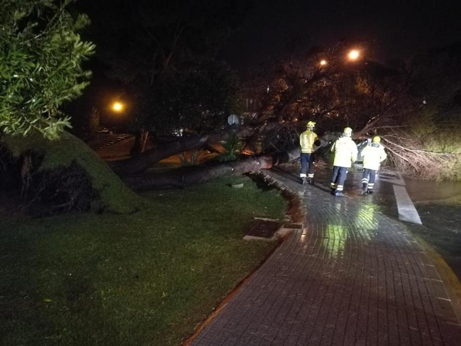 Imágenes de la caída de un árbol en Almoradí.