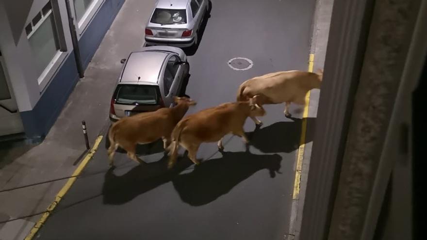 """Vacas """"de marcha"""": """"Este é o ocio nocturno que nos gusta"""""""