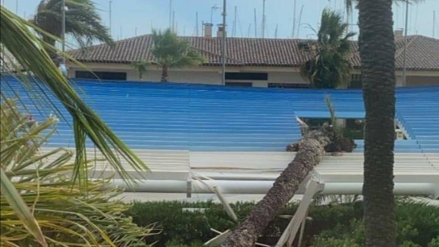 Cae una palmera de más de diez metros en el paseo Vista Alegre de Torrevieja
