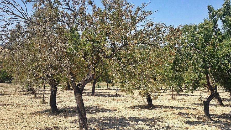 El campo isleño quiere replantar un millón de almendros
