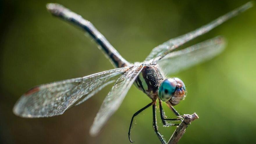 Los insectos colaboran en la lucha contra las superbacterias