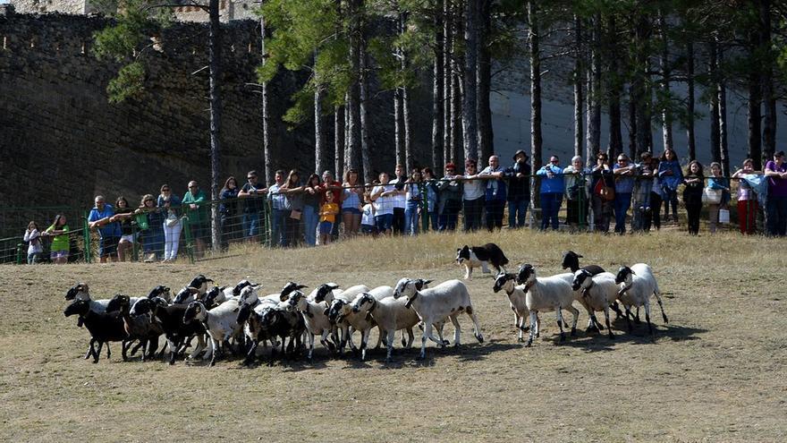 Una exhibición de perros pastores, plato fuerte de una Fira de Morella adaptada a la pandemia