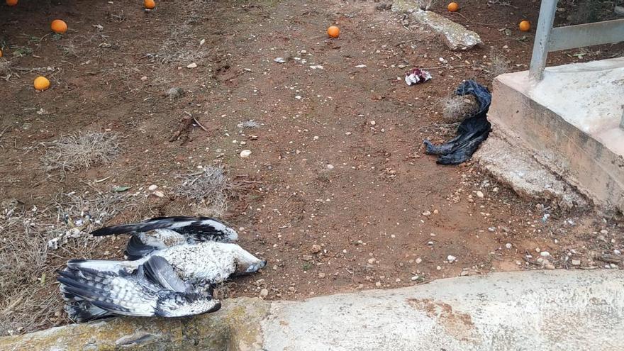 Denuncian la muerte de un águila perdicera electrocutada en Oliva