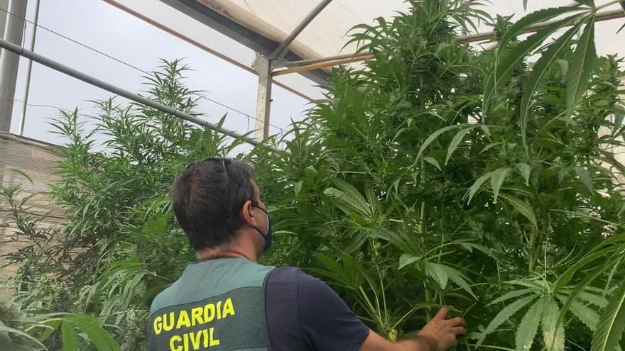 Incautan 34.000 plantas de marihuana a empresas de cáñamo industrial en Cox y Orihuela