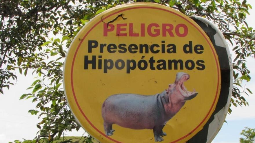 Los hipopótamos de Pablo Escobar ya son una especie invasora en Colombia