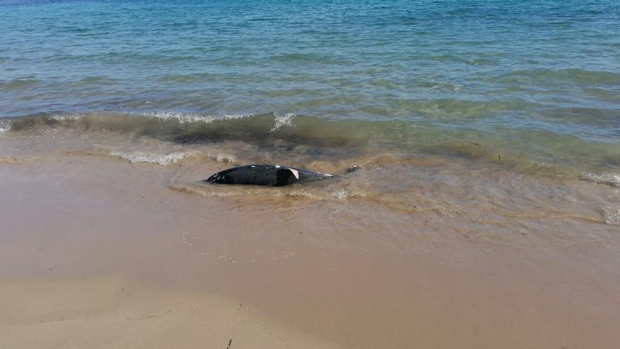 Aparece un delfín muerto en una playa de El Campello