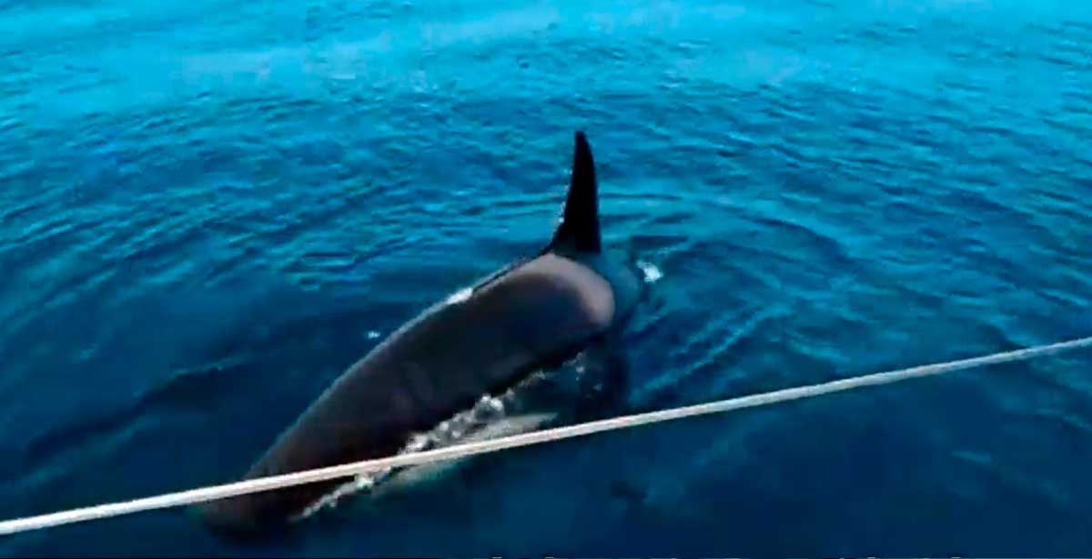 El tenso encuentro entre un velero y las orcas que se quedó en solo un susto