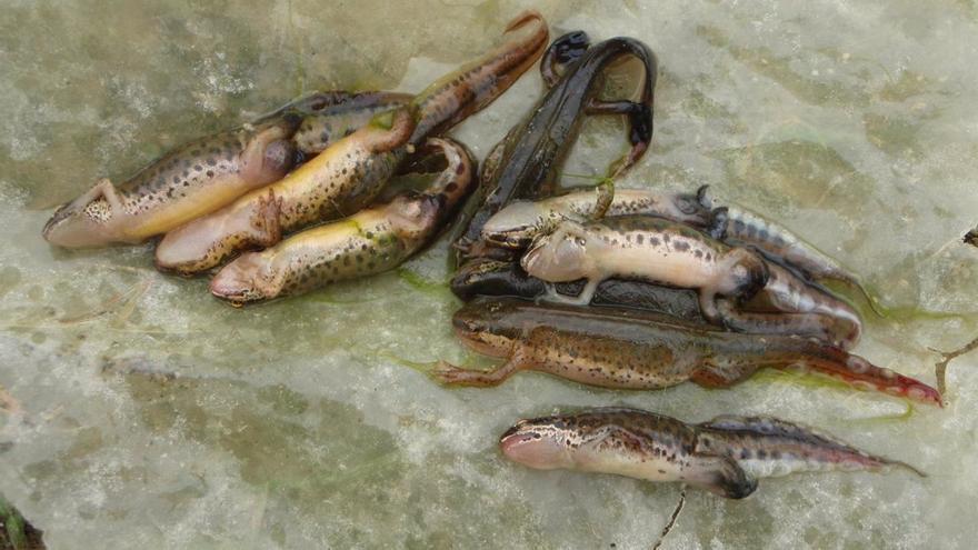 Un virus posa en perill als amfibis i els rèptils