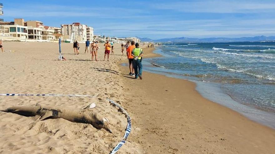Aparece un ejemplar de tiburón tintorera varado en una playa de Valencia