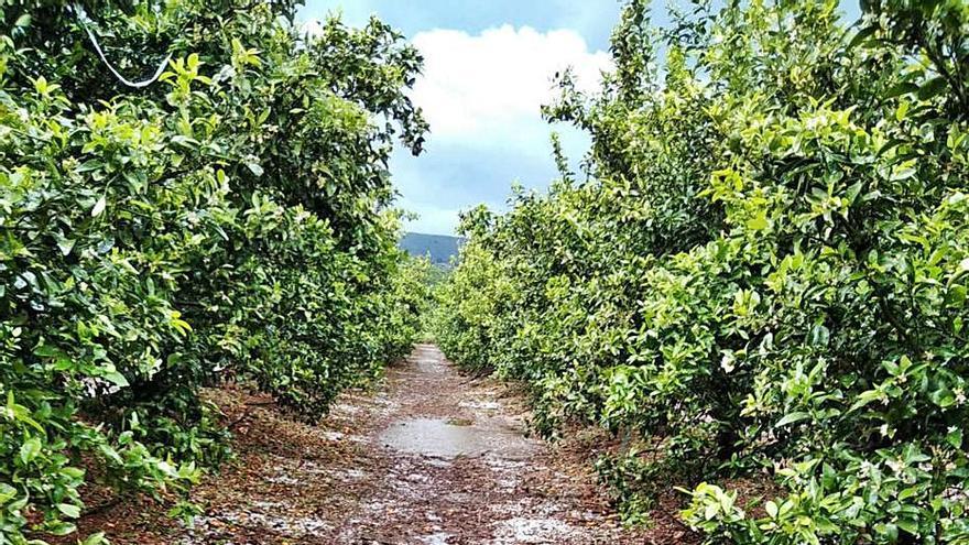 El granizo deja daños en 800 hectáreas y pérdidas de 1,5 millones en la Costera