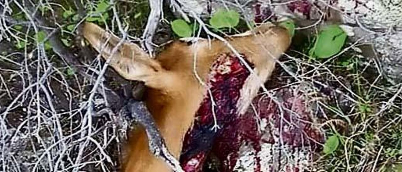 Cadáver de una cabra salvaje abatida en el Valle de Agaete.