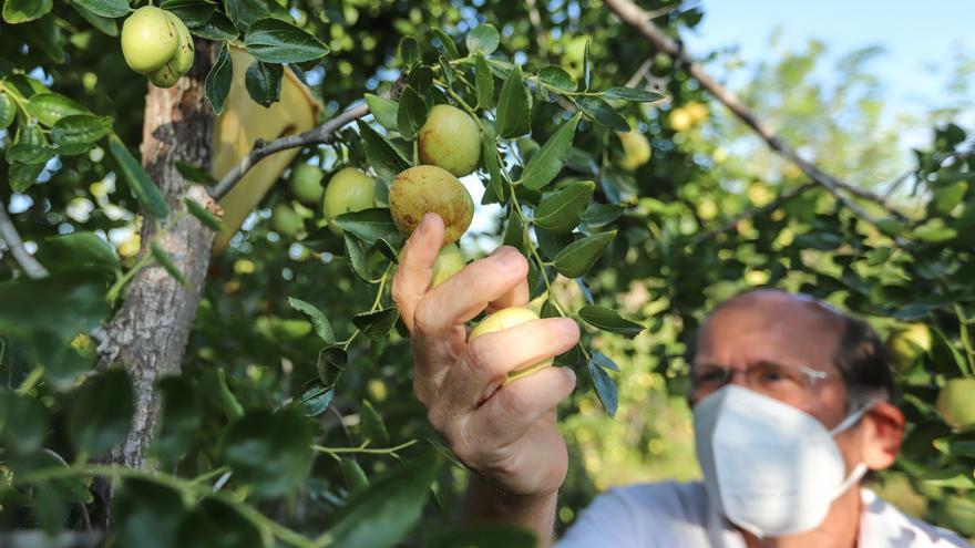 El sabor del final del verano: agricultores de la Vega Baja llevan de la huerta doméstica a la producción comercial el cultivo del jínjol