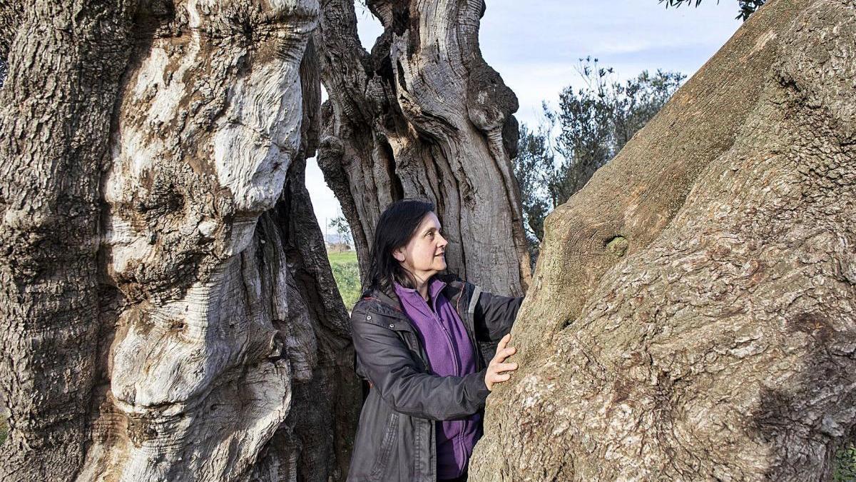 Fina Sala amb les oliveres de Ventalló, uns arbres imponents que podrien ser les primeres que van plantar els grecs