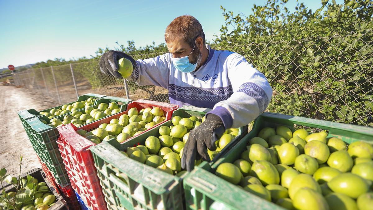 Un agricultor selecciona limones en una explotación agrícola de la Vega Baja