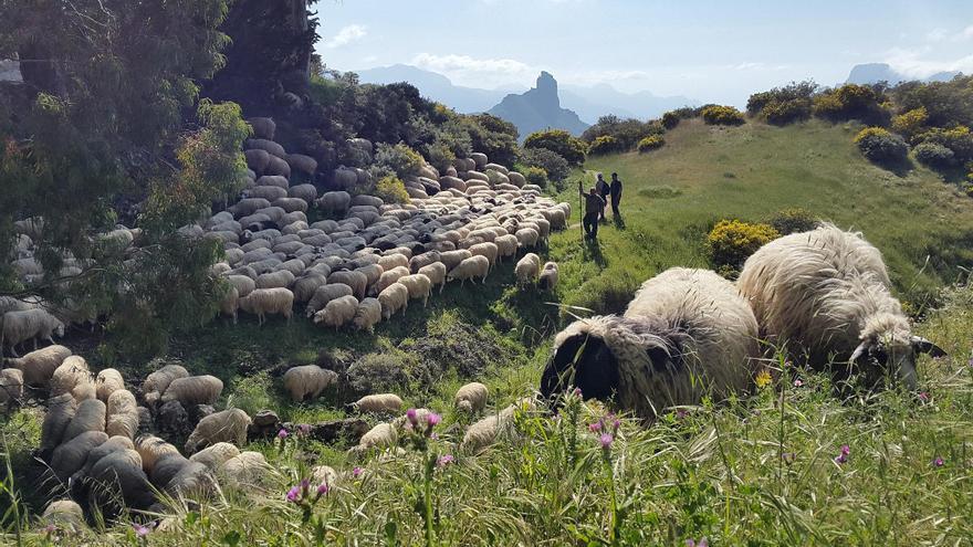 El Cabildo destina un millón a las 'ovejas bomberas' y a la limpieza de terrenos públicos
