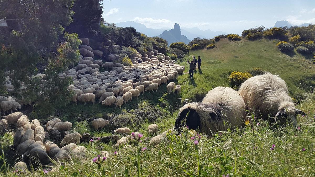 El Cabildo destina un millón a las 'ovejas bomberas' y a la limpieza de terrenos públicos.