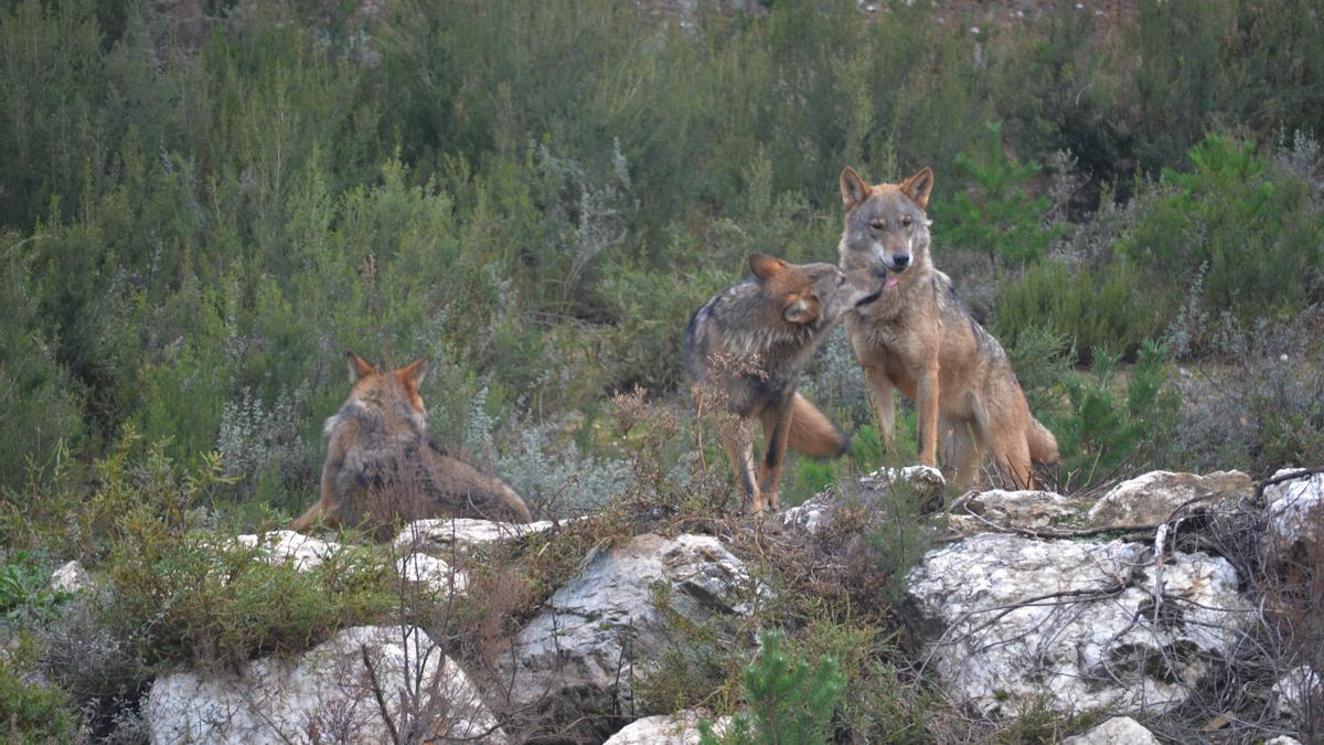 Lobos en el Centro Ibérico de Robledo