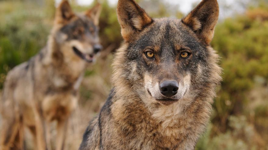 Primera consecuencia de la protección del lobo: el Principado suspende los controles