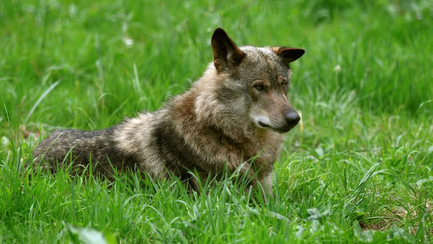 """El Ministerio admite que la nueva norma solo permite eliminar """"lobos conflictivos"""""""