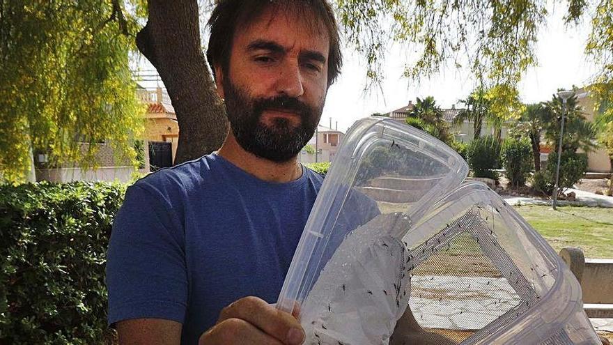 Machos estériles para combatir al mosquito tigre en Polinyà