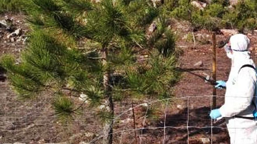 Finaliza la campaña contra la procesionaria del pino