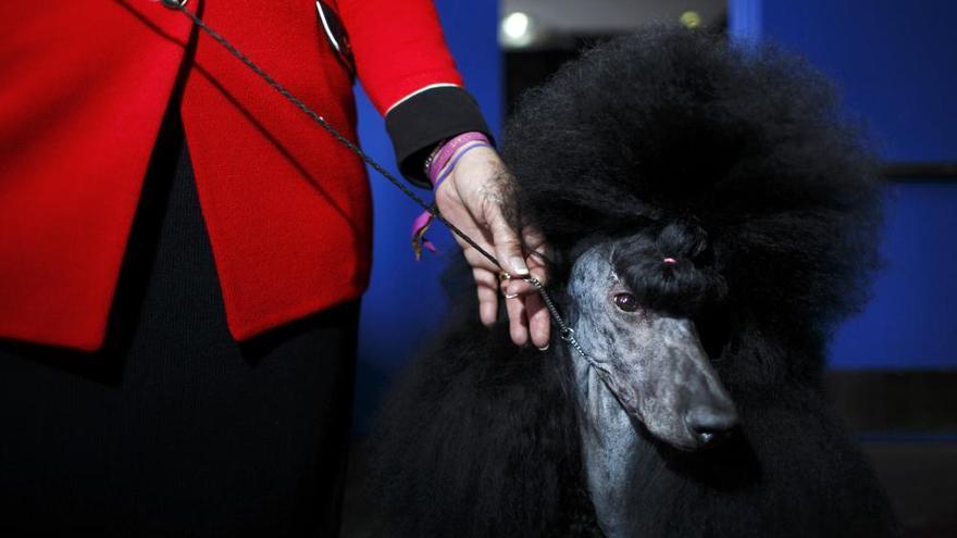 Competició de bellesa canina als EUA