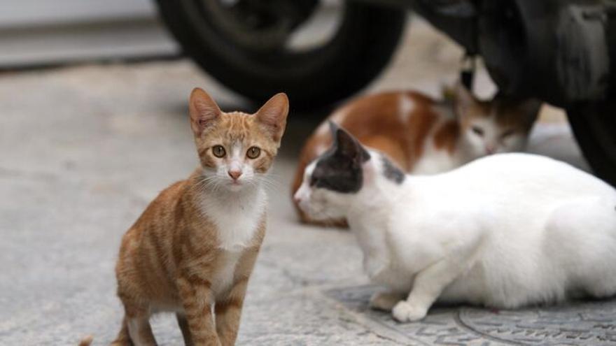 El Colegio de Veterinarios  asesorará en el control de las colonias de gatos