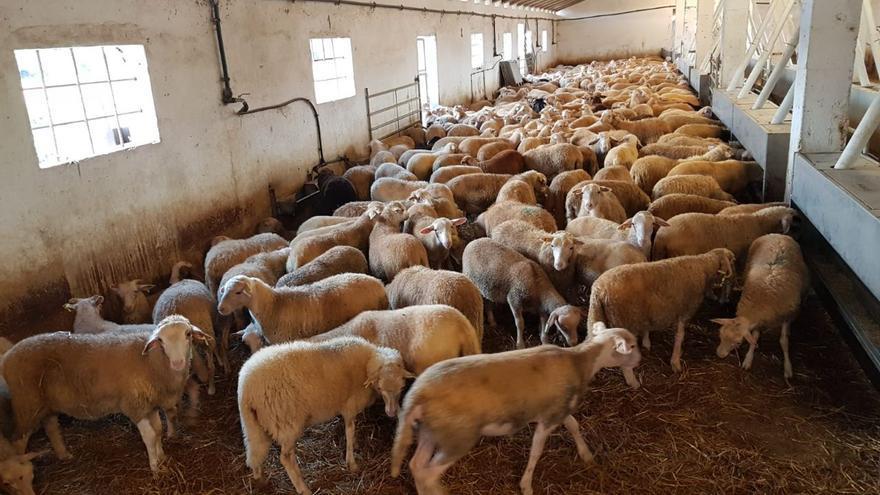 Salen hacia la península 425 corderos vacunados contra la lengua azul