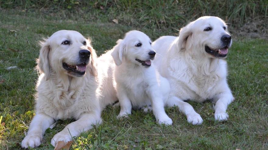 Els gossos poden detectar la Covid-19 amb un 94% de precisió