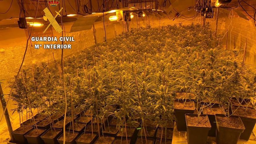 Desmantelada una plantación de marihuana en Madroñera