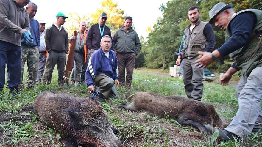 Los cazadores matan 369 jabalíes en una campaña con 228 batidas en las comarcas