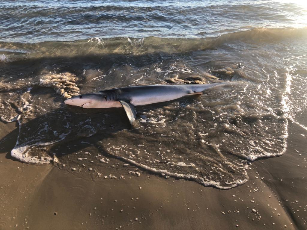 Aparece un tiburón varado en la playa de San Juan