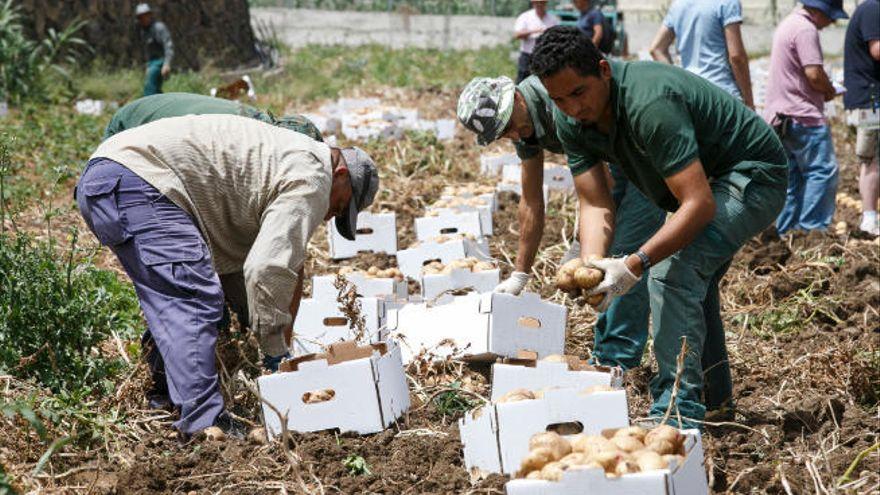 """Más de medio millón de euros en ayudas a agricultores por la """"polilla guatemalteca"""" de la papa"""