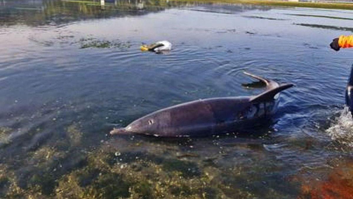 Rescate de un delfín en la ría de Arousa en un varamiento masivo registrado el pasado agosto.