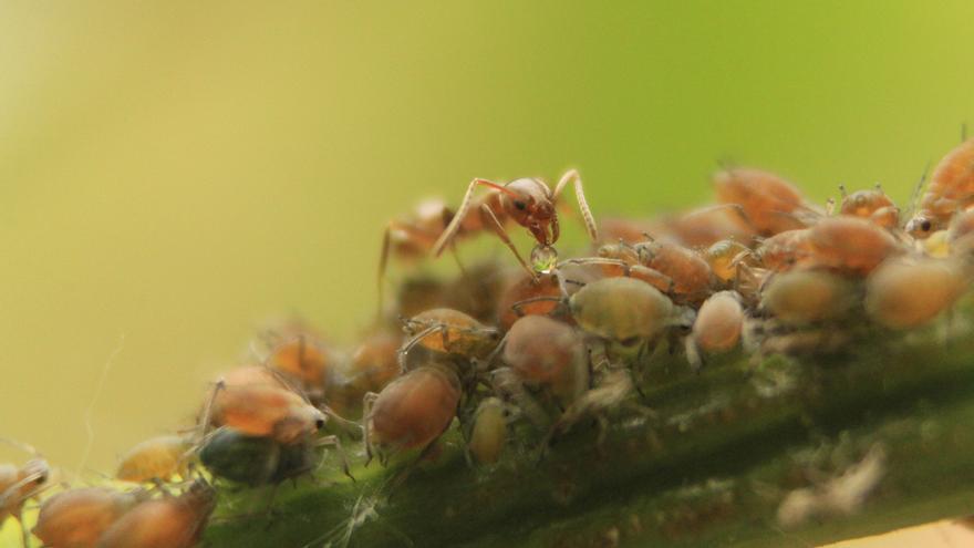 La flexibilidad de las reinas de la hormiga argentina invasora favorece la colonización