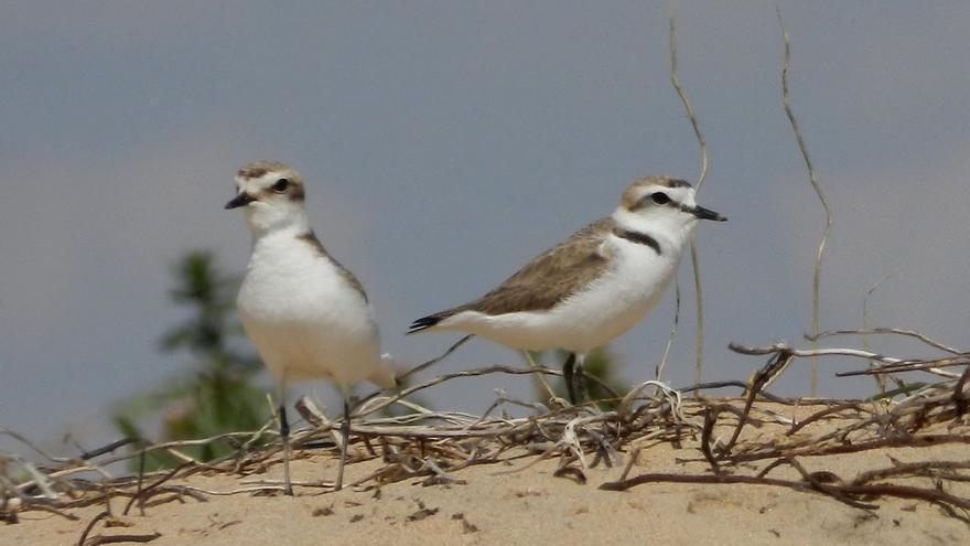 Crean refugios de biodiversidad en las dunas del litoral de Castellón