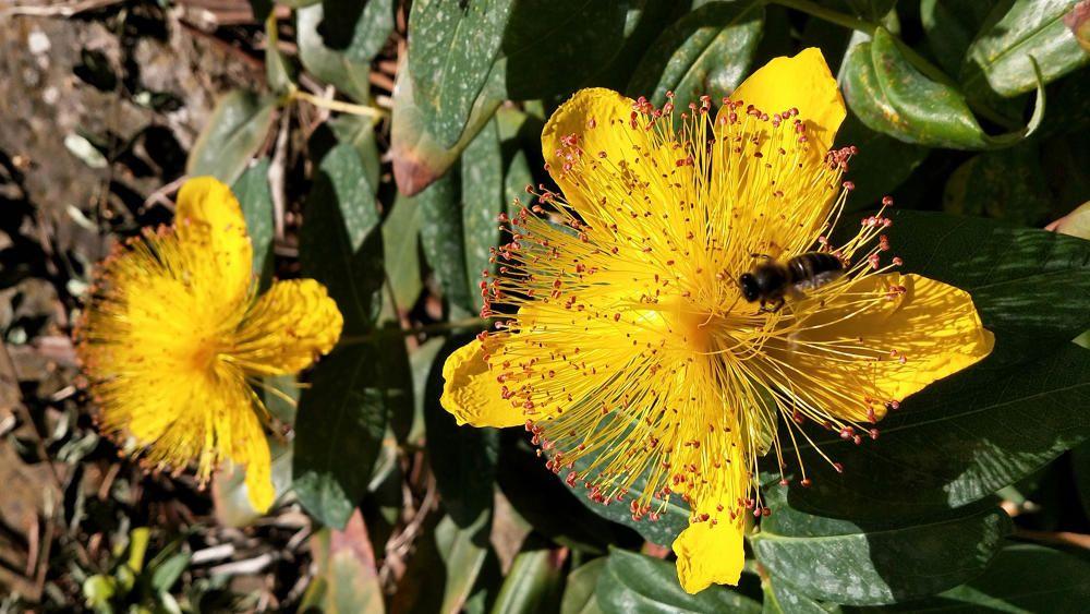 Hipericó. Pericó o herba de Sant Joan, és una planta rastrera, coneguda a l'antiguitat com a màgica pel fet que floria la nit de Sant Joan. La flor, molt vistosa i de color groc, té al seu interior una abella pol·linitzant.