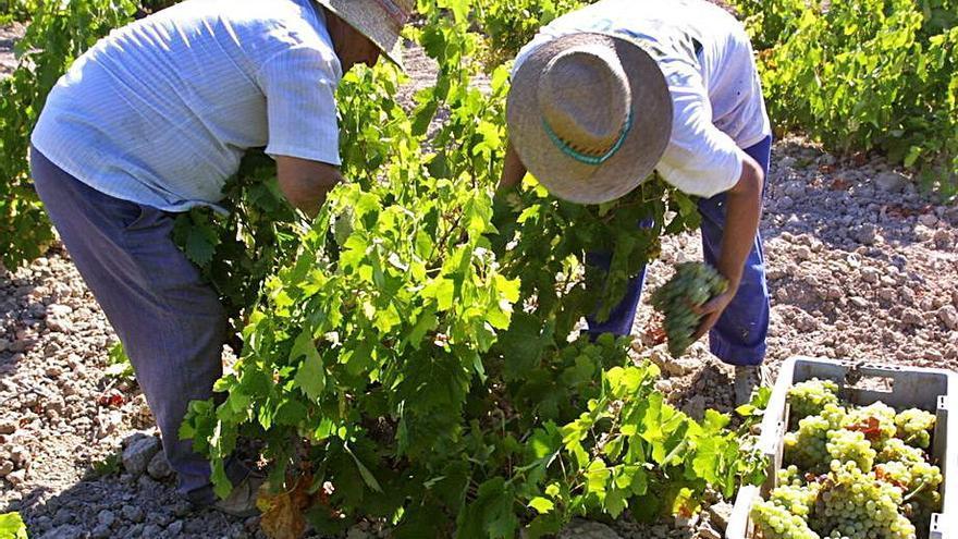 Prorrogadas las autorizaciones para las plantaciones de viñedo