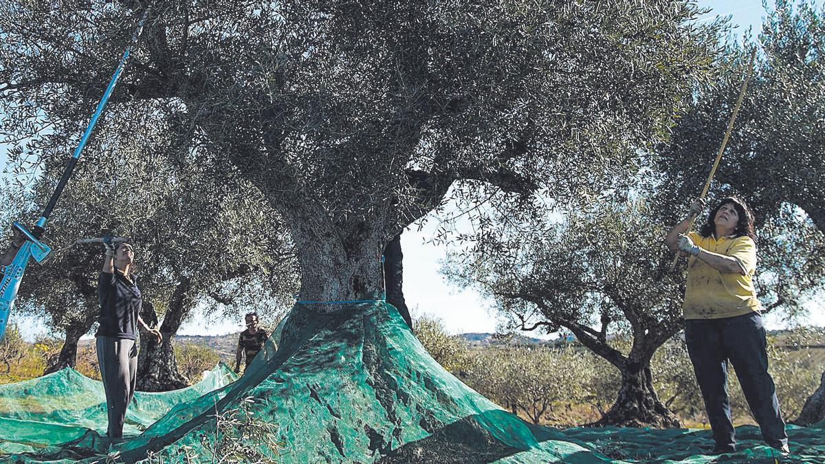 Un grupo de personas realizan sus tareas repartidas en torno a un gran olivo radicado en un finca de Fermoselle. | José Luis Fernández