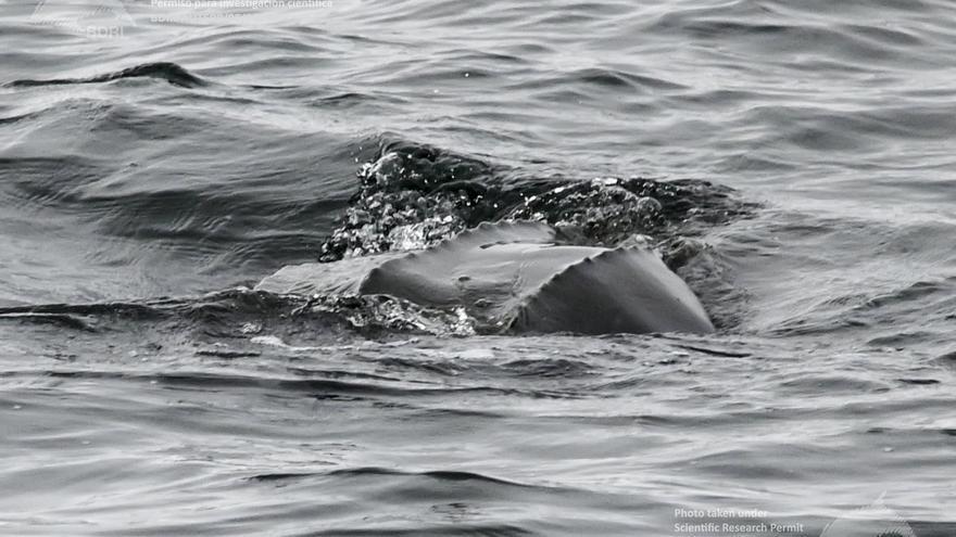 La tortuga laúd sigue los pasos de la ballena azul en Galicia